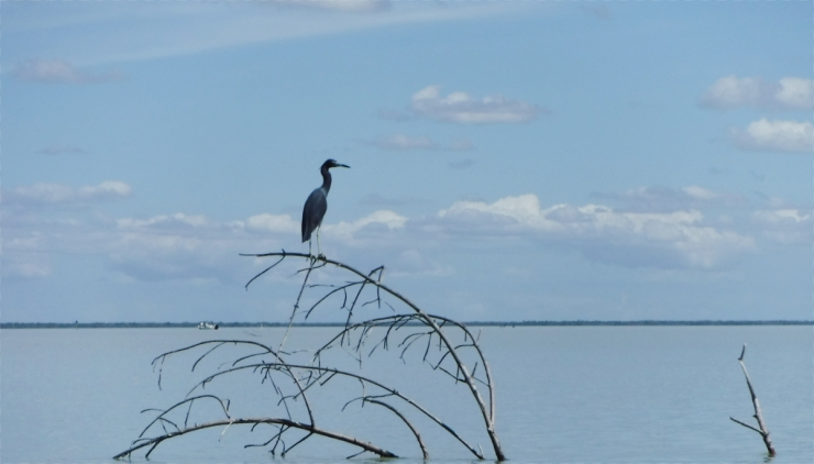 08-15SmallBlueHeron